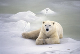 Polar Bear Laying on the Ice Churchill Manitoba Canada Spring