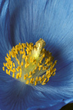 Close Up Detail of Blue Poppy