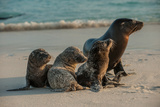 An Adult Sea Lion with Pups on Espanola Island in the Galapagos