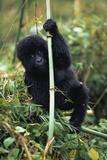 Close-Up of Young Gorilla  Looking at Camera