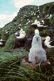 Black-Browed Albatross Chick Sitting on Nest Bird Island Antarctica Spring