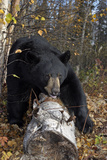 Black Bear Stepping over Log in Forest Southcentral Alaska Autumn