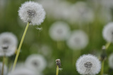 Close View of Dandelions  Near Gap  France