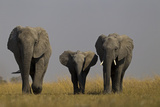 Elephant Herd Walking in Northern Botswana
