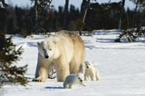 Polar Bear (Ursus Maritimus) Sow and Cubs Walking in Wapusk National Park; Churchill