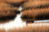 An American Black Duck  Anas Rubripes  Swims Through a Marsh at Sunset