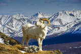 A Young Dall Sheep Ram Standing on Mount Margaret with the Alaska Range in the Background