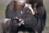 Captive Adult Female Musk Ox with Calf at the Alaska Wildlife Conservation Center During Summer