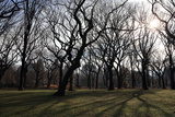 The Sun Shines Through Bare Winter Trees in New York City's Central Park