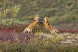 Two Foxes Near the Top of Polychrome Pass in Denali National Park Play with Each Other