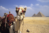 Close-Up on a Camel Looking at the Camera with Pyramids in the Background  Giza  Egypt; Giza  Egypt