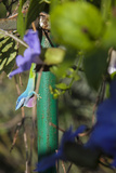 A Colorful Chameleon Changes Colors as it Moves Through the Vegetation on a Hotel Patio