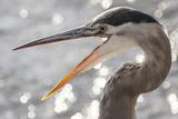 Close Up Portrait of a Great Blue Heron  Ardea Herodias  with its Beak Open