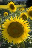 Sunflowers around San Casciano Dei Bagni  Tuscany  Italy