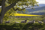 Sheep Laying on the Grass under a Tree; Northumberland England