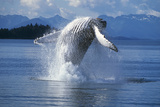 Humpback Whale Breaching Frederick Sound Se Ak