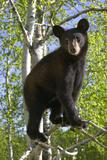 Black Bear Cub in Tree Minnesota Forest Captive Summer