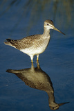 Greater Yellow-Legs Standing in Shallows Sc Ak Summer