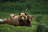 Grizzly Bear Mother and Cubs Lay in Field Southwest Ak - Nsummer