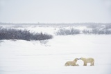 Two Polar Bears (Ursus Maritimus) Showing Affection by Kissing Each Other; Churchill