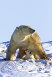 A Mother Polar Bear (Ursus Maritimus) with Her Cub in Wapusk National Park; Churchill