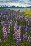 Scenic View of Turnagain Arm and Chugach Mountains Near Bird Point with Lupine Meadow