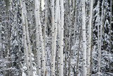 A Stand of Poplar Trees in a Snowy Forest