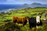 Cattle in County Kerry  Ireland