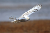 A Snowy Owl  Bubo Scandiacus  Flies over the Wintry Coast of Maine