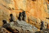 Five Baboons on a Rock Sitting and Grooming in Cederberg Wilderness Area  South Africa
