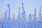A Snow and Ice Covered Evergreen Forest Along the Dempster Highway