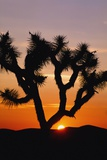 Silhouette of Joshua Tree at Sunset