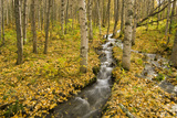Small Creek Flows Through Autumn Leaf Covered Forest Floor  Chugach State Park  Eagle River Valley