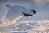 A Ptarmigan in its White Winter Plumage  Taking Flight