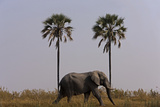 Elephant Walking Centered Between Two Palms in Northern Botswana