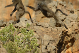 Two Baboons Leaping in Cederberg Wilderness Area  South Africa