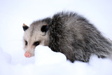A Virginia Opossum  Didelphis Virginiana  Crouches in the Snow in Portland  Maine
