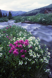 Wildflowers Next to a Stream in Arapahoe National Forest