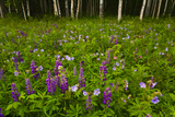 Scenic of a Birch Forest with a Lupine and Wildflower Meadow