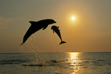 Pair of Bottle Nose Dolphins Jumping at Sunset Roatan Honduras Summer Backlit