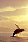 Humpback Whale Breaching in Inside Passage Se Ak Summer Backlit