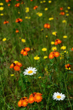 Orange Hawkweed Flowers  Daisies  and Dandelions in a Meadow