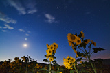 Constellations and Planets Above a Field of Flowers
