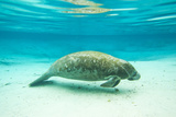 Portrait of a Florida Manatee in Clear Blue Water