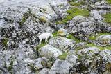 Mountain Goat on Gloomy Knob