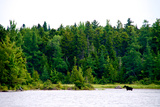 A Moose  Alces Alces  Wading in a Pristine Lake Bordered by and Evergreen Forest