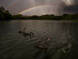 Three Black Swans on a Lake During a Storm in Ibirapuera Park  Sao Paulo  Brazil