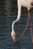 Close Up Portrait of a Greater Flamingo  Phoenicopterus Roseus  Feeding