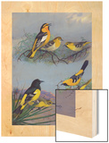 Painting of Several Oriole Species