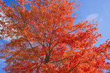 Brilliant Red Leaves on a Sugar Maple Tree in Autumn